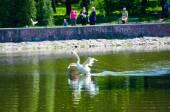 Lindos jovens cisnes no lago — Foto Stock