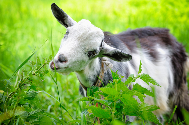 коз на пастбище — Стоковое фото