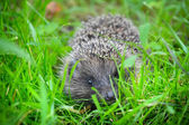 Western European Hedgehog (Erinaceus) in a grass — Stock Photo