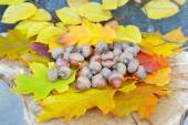 Acorns on background colorful fall leaves — Stock Photo