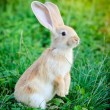 Little rabbit standing on hind legs in the grass — Stock Photo #53962393