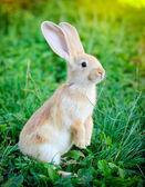 Little rabbit standing on hind legs in the grass — Foto de Stock