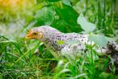Speckled chick outdoors — Stock Photo