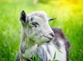 Goat on pasture closeup — Stockfoto