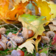Brown acorns on autumn leaves, close up — Stock Photo #54370685
