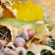 Brown acorns on autumn leaves, close up — Stock Photo #54522817