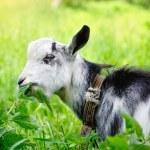 Goat on pasture closeup — Stock Photo #54523139