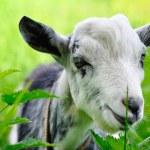 Goat on pasture closeup — Stock Photo #54523173