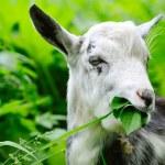 Goat on pasture closeup — Stock Photo #54523179