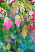 Beautiful autumn background is with the sprig of spindle tree (Euonymus europaeus) — Stock Photo
