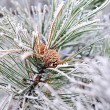 Frozen pine branch with pine-cone — Stock Photo #61536567