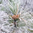 Frozen pine branch with pine-cone — Stock Photo #61536571