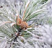 Frozen pine branch with pine-cone — Stock Photo