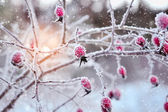 Red rosehip berries with hoar frost — Stock Photo