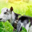Goat on a pasture — Stock Photo #65661889