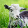 Goat on a pasture — Stock Photo #65661935