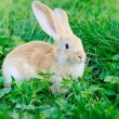 Little rabbit on green grass — Stock Photo #68287117