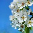 Flowers bloom on a branch of pear against blue sky — Stock Photo #72293355