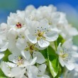Flowers bloom on a branch of pear against blue sky — Stock Photo #72293359