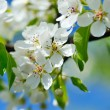 Flowers bloom on a branch of pear against blue sky — Stock Photo #72293361