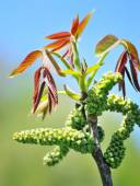 Flowering walnut early spring — Stock Photo
