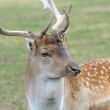 Fallow deer — Stock Photo #54838931