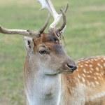 Fallow deer — Stock Photo #54838931