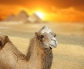 Camel at sunset — Stock Photo