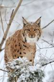 Lynx in winter — Foto de Stock