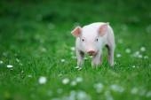 Young pig — Stock Photo