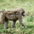 Olive baboon — Stock Photo #56490793