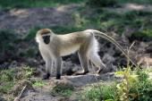 Scimmia di vervet — Foto Stock