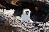 Vervet monkey — Stock Photo