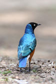 Superb Starling — Stock Photo