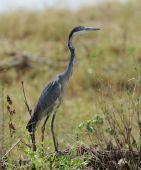 Heron (Ardea goliath) — Stock Photo