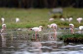 Flamingo — Stockfoto