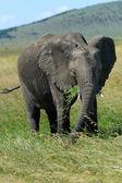 Elefante — Fotografia Stock