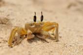 Marine crab on beach — Stock Photo
