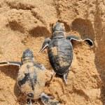 Baby turtles — Stock Photo #59211969