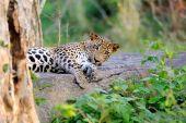 Leopard — Photo