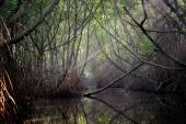 Thickets of mangrove trees in the tidal zone — Stock Photo