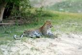 Leopardo — Foto Stock