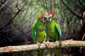 Parrot (Severe Macaw) on branch — Stock Photo