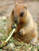 Marmot — Stockfoto