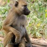Olive baboon in Masai Mara National Park of Kenya — Stock Photo #63965427