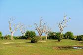Tree in Sri Lanka — Foto Stock
