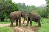 Słonie — Zdjęcie stockowe