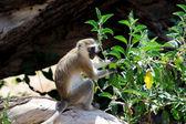 Vervet aap — Stockfoto