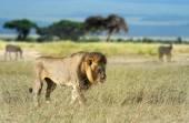 лев в траве — Стоковое фото
