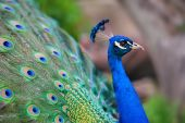 Peacock — Stock Photo